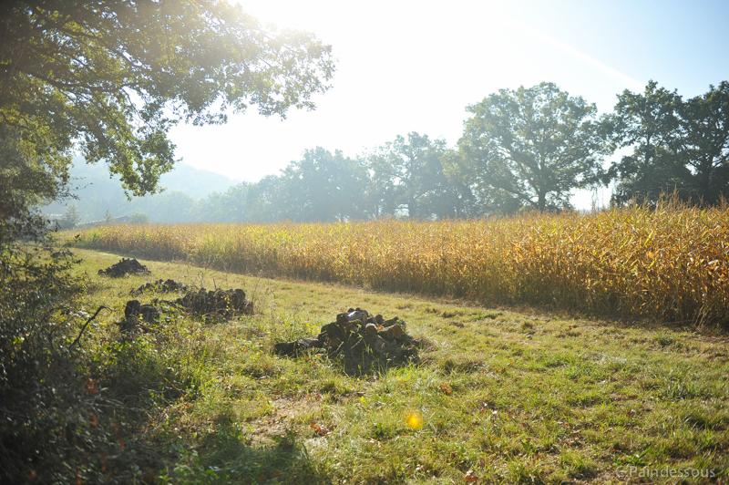 Le champ de maîs
