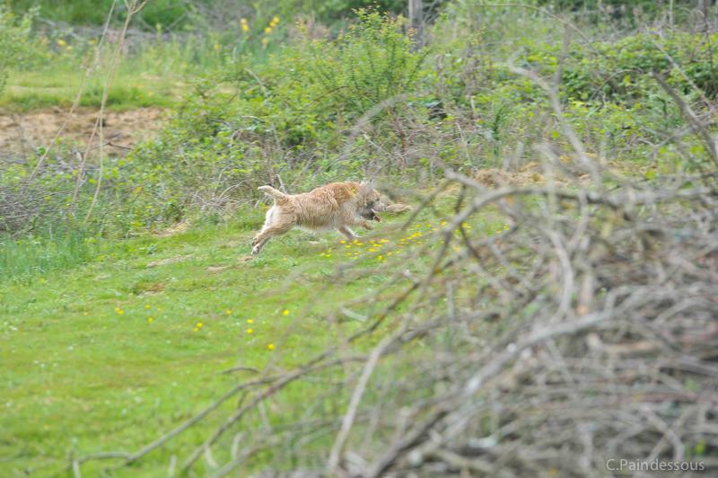 Un lapin vient de sortir d'un roncier, vite......  (idiv)